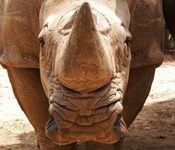 White rhino edited
